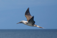 20140514091208-Blue_footed_booby_hunting_for_fish