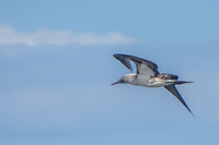 20140514091209-Blue_footed_booby_hunting_for_fish-2