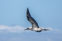 20140514091209-Blue_footed_booby_hunting_for_fish