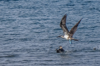 20140514092005-Blue_footed_booby_hunting_for_fish