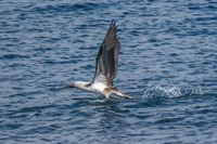 20140514092052-Blue_footed_booby_hunting_for_fish