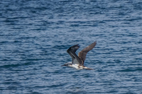 20140514092103-Blue_footed_booby_hunting_for_fish