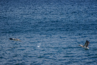 20140514092130-Blue_footed_booby_hunting_for_fish-2