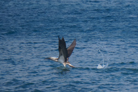 20140514092130-Blue_footed_booby_hunting_for_fish