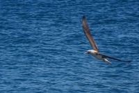 20140514092810-Blue_footed_booby_hunting_for_fish-3