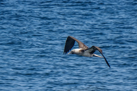 20140514092810-Blue_footed_booby_hunting_for_fish