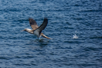 20140514093454-Blue_footed_booby_hunting_for_fish-2