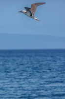 20140514093457-Blue_footed_booby_hunting_for_fish-5