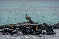20140510130907-Pelican_and_crabs