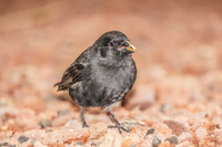 20140511173506-Large_ground_finch