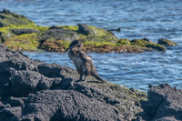 flightless_cormorant