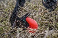 Male Frigate bird with Red Pouch Baloon in North Seymour Puerto Ayora, Galapagos, Ecuador, South America