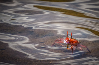 20140514083552-Ghost_crab_Ocypodinae