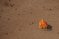20140514091040-Ghost_crab_Ocypodinae