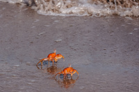 20140514091057-Ghost_crab_Ocypodinae