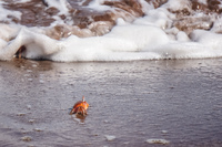 20140514091125-Ghost_crab_Ocypodinae