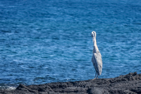 Great Blue Heron on Fernandina Fernandina Island, Galapagos, Ecuador, South America