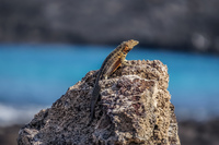 20140513084647-Male_lava_lizard_sombre_chino