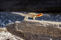 20140514150316-Lava_Liazard_-_Female