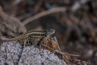 20140519163154-Lava_Lizard_near_Frigate_Bird_Hill_San_Cristobal