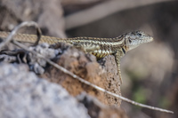 20140519163221-Lava_Lizard_near_Frigate_Bird_Hill_San_Cristobal