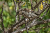 Chatham Mocking Bird in San Cristobal-Rare Baquerizo Moreno, Galapagos, Ecuador, South America