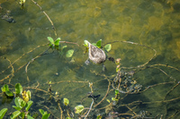 20140517123555-Bahama_sea_duck_near_Puerto_Villamil