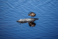 20140517150304-Bahama_sea_duck_near_Puerto_Villamil