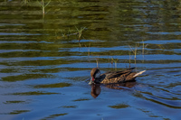 20140517150417-Bahama_sea_duck_near_Puerto_Villamil