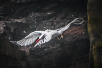 20140521154111-RED-BILLED_TROPICBIRD-2