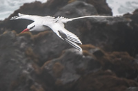20140521154159-RED-BILLED_TROPICBIRD
