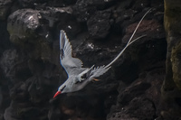 RED-BILLED TROPICBIRD-2 Baquerizo Moreno, Galapagos, Ecuador, South America