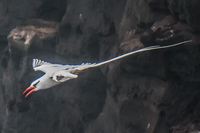 20140521154335-RED-BILLED_TROPICBIRD-2