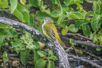 20140521164228-Yellow_Warbler_of_La_Loberia
