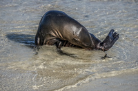 20140513081228-Sea_Lion_Chino_Sombre