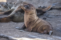 Sea Lions on James Bay Isla Santiago, Galapagos, Ecuador, South America