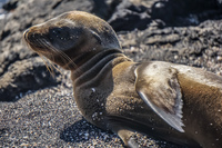 20140515084132-Baby_Seal_2_hours_old