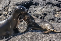 Baby sea lion on Puerto Espinoza of Fernandina Fernandina Island, Galapagos, Ecuador, South America