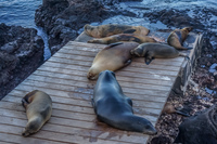 20140519163614-Sea_lions_near_Punta_Carola