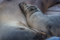 20140519163828-Sea_lions_near_Punta_Carola