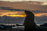 Sea lion sunset near San Cristobal Baquerizo Moreno, El Progreso, El Junco, Puerto China, Galapagos, Ecuador, South America