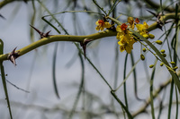 20140510105315-Yellow_flower_on_spiked_tree
