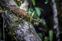 20140417173320-grass_like_orchid_on_tree