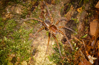Scary big Amazon Brown spider Lago Agrio, Nueva Loja Cuyabeno Reserve, Ecuador, South America