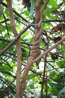 20140418171155-Twisted_branch