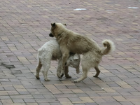 20140501142612-Street_Dog_fight_in_Alausi